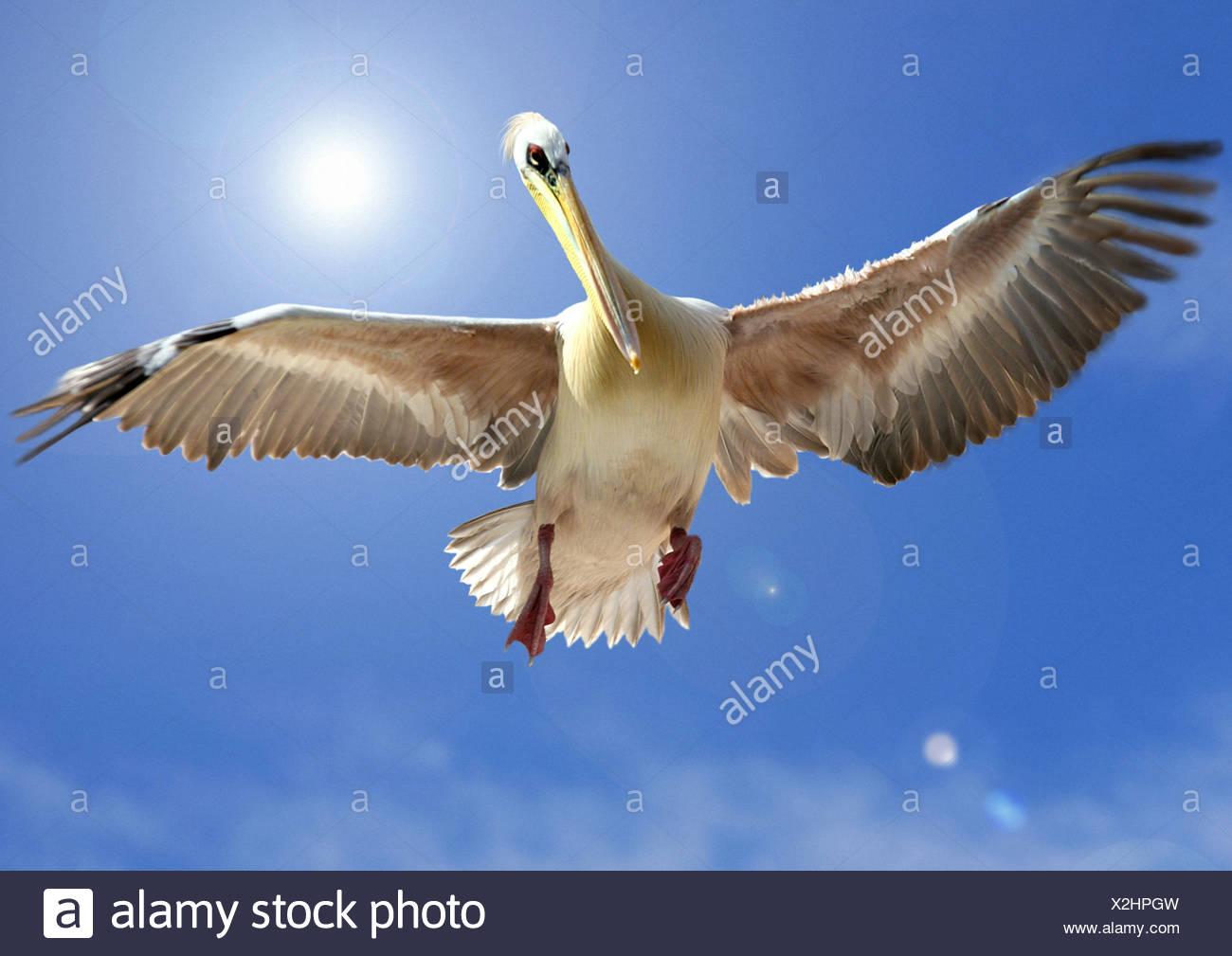 eastern white pelican (Pelecanus onocrotalus), flying - Stock Image