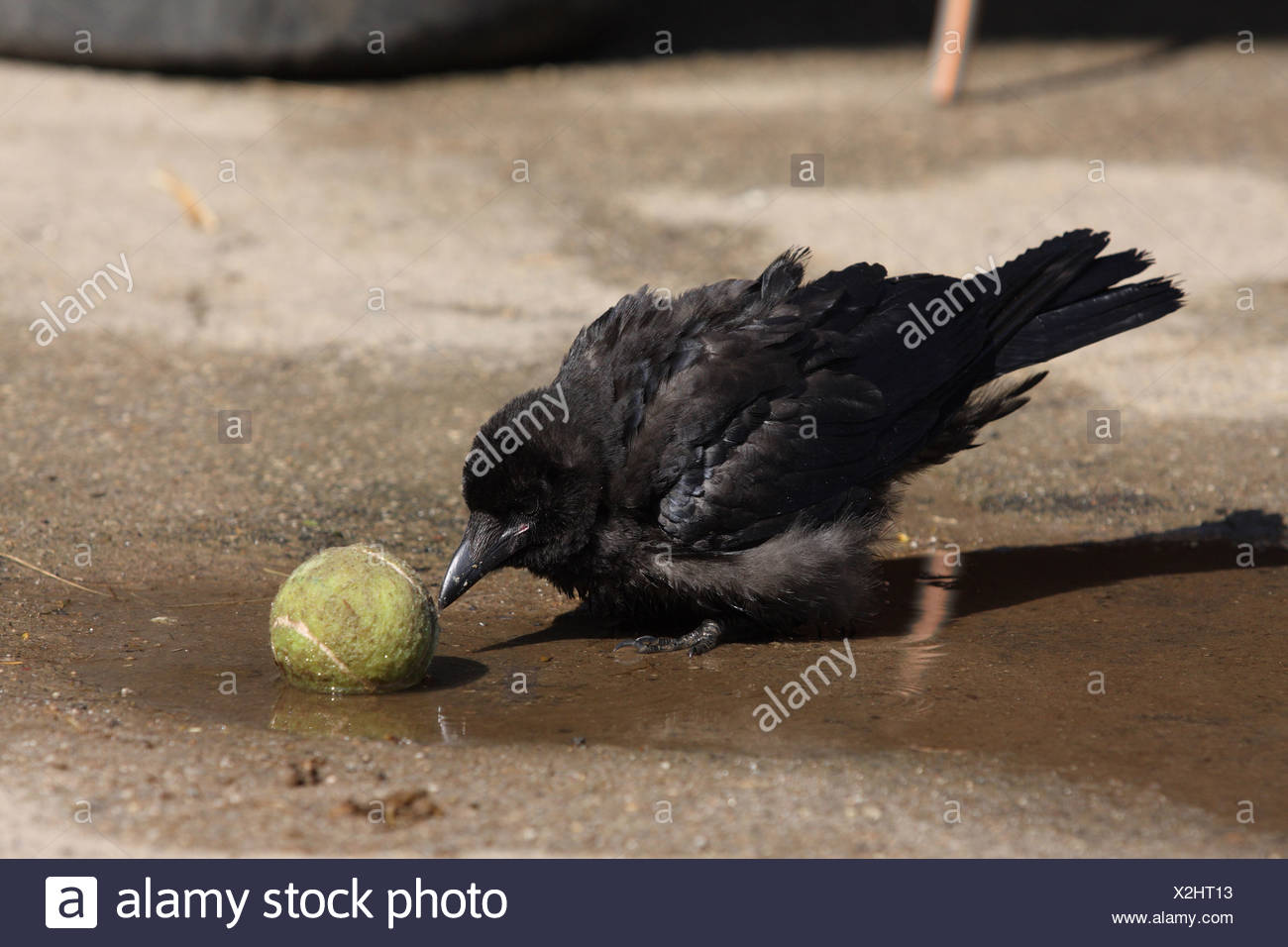 crow - Stock Image