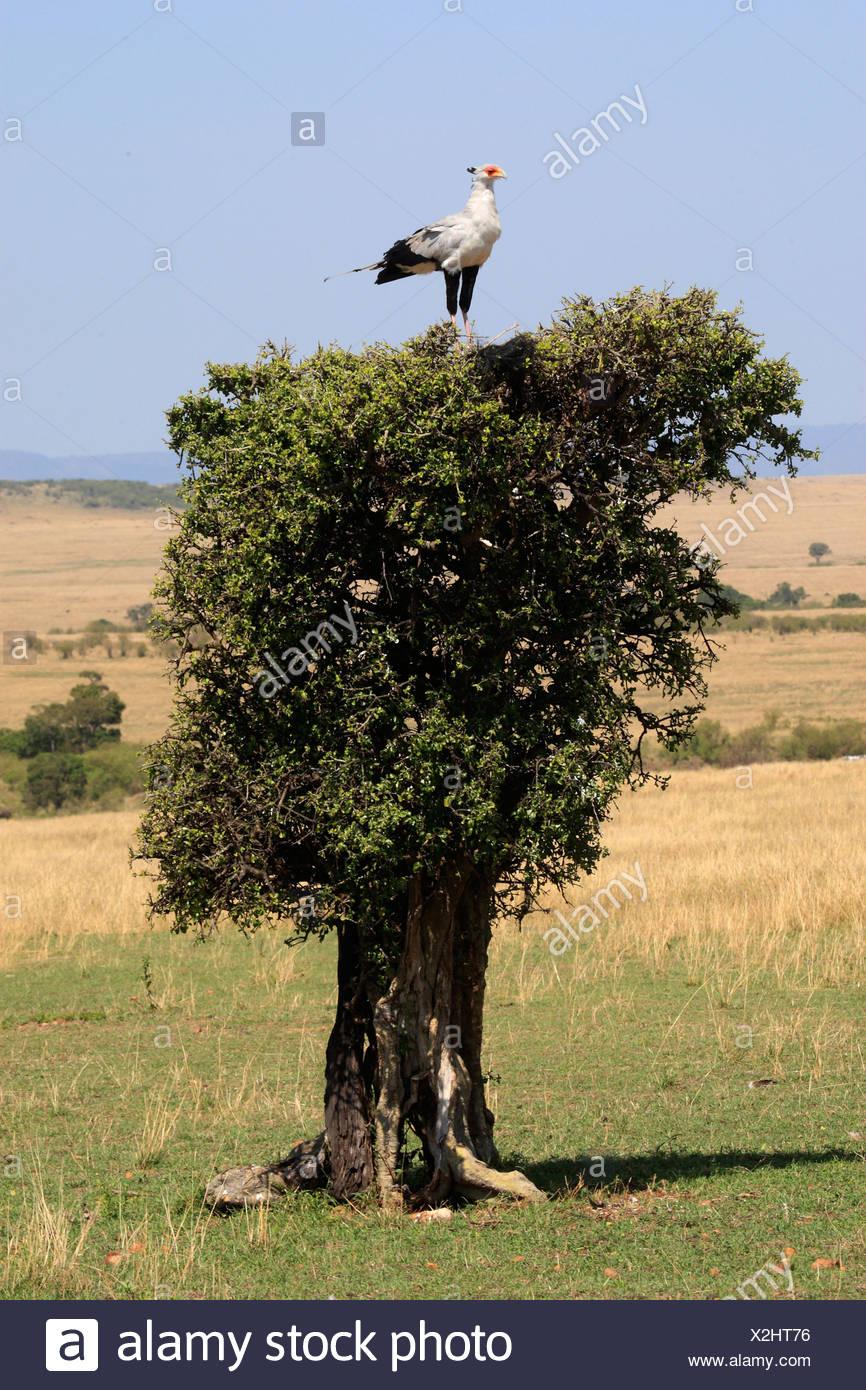 Secretary Bird on tree / Sagittarius serpentarius Stock Photo