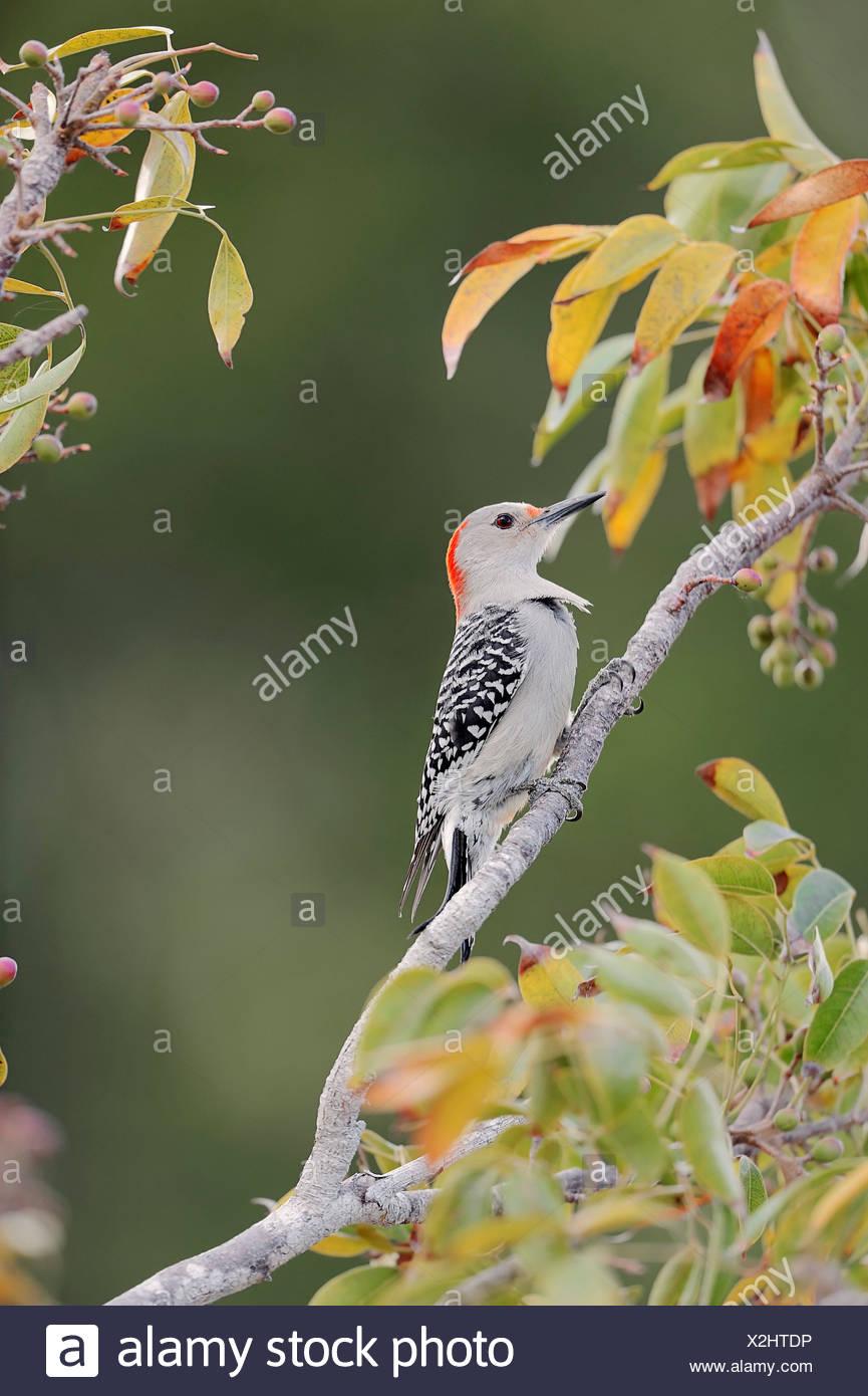 Red-bellied Woodpecker (Melanerpes carolinus), female, Everglades National Park, Florida, United States Stock Photo