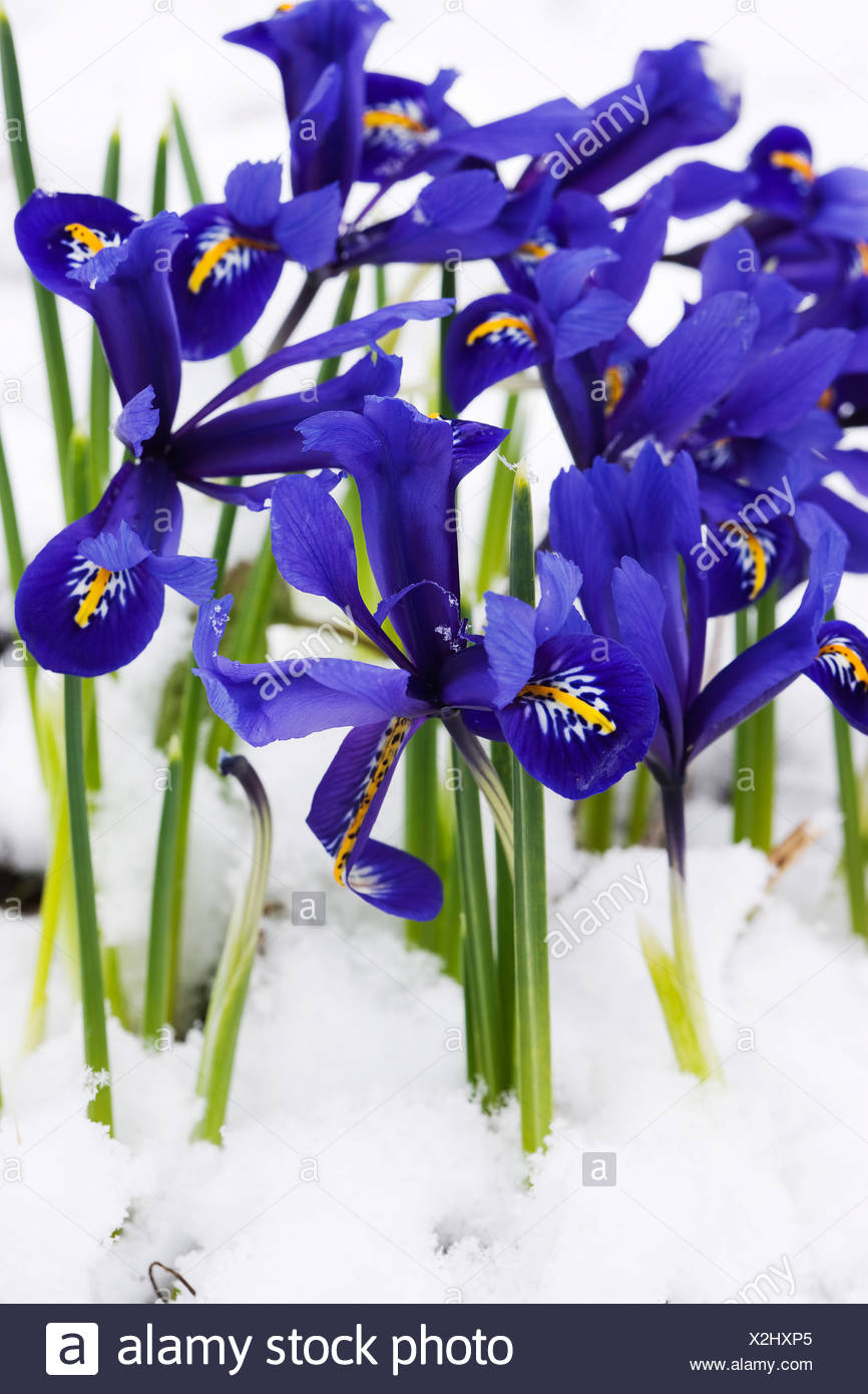 Beaty Blue Botany Daytime Flower Flowers Iris Nature Outdoor