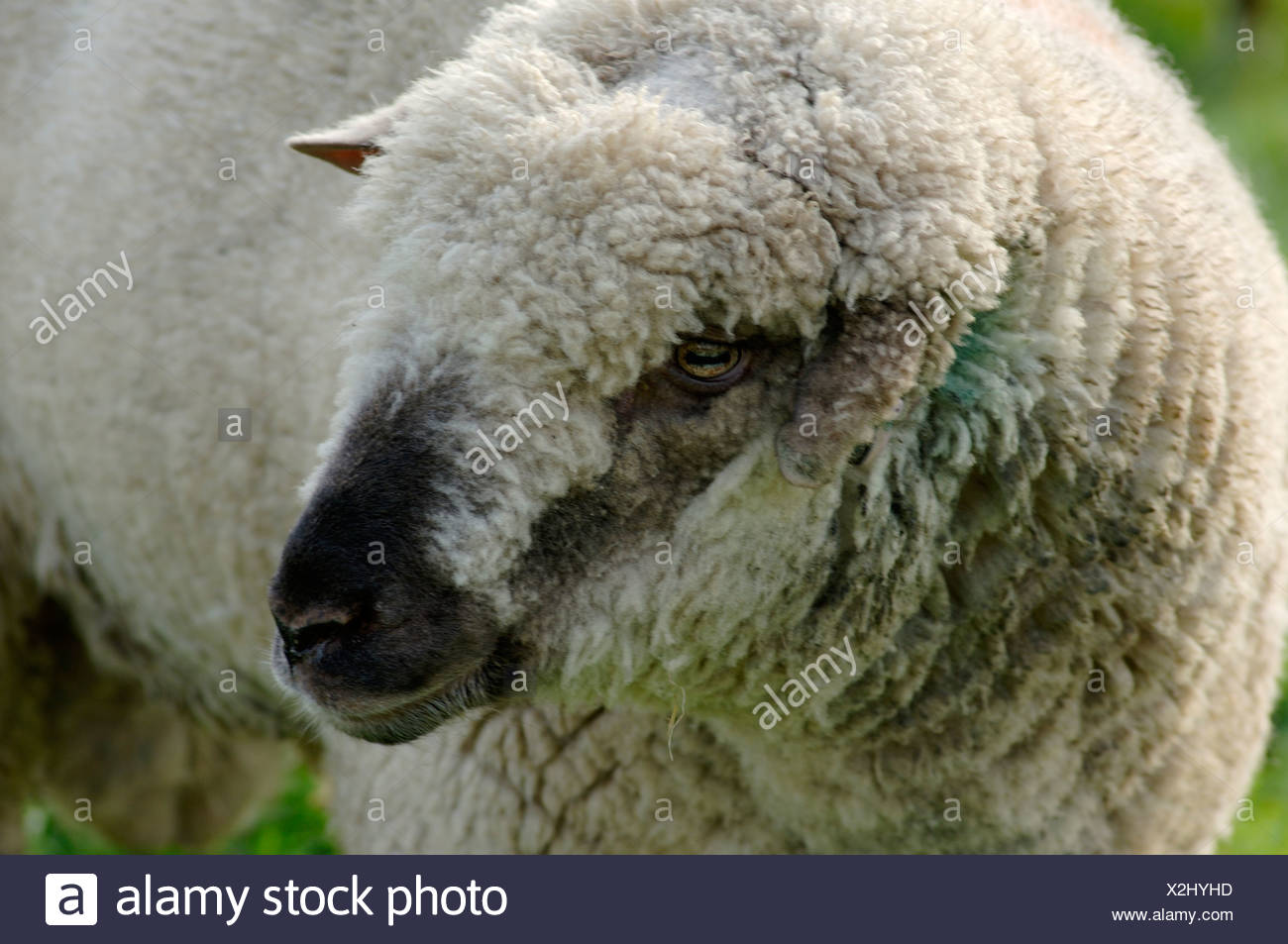 ugly charollais ram with a damaged ear devon stock image
