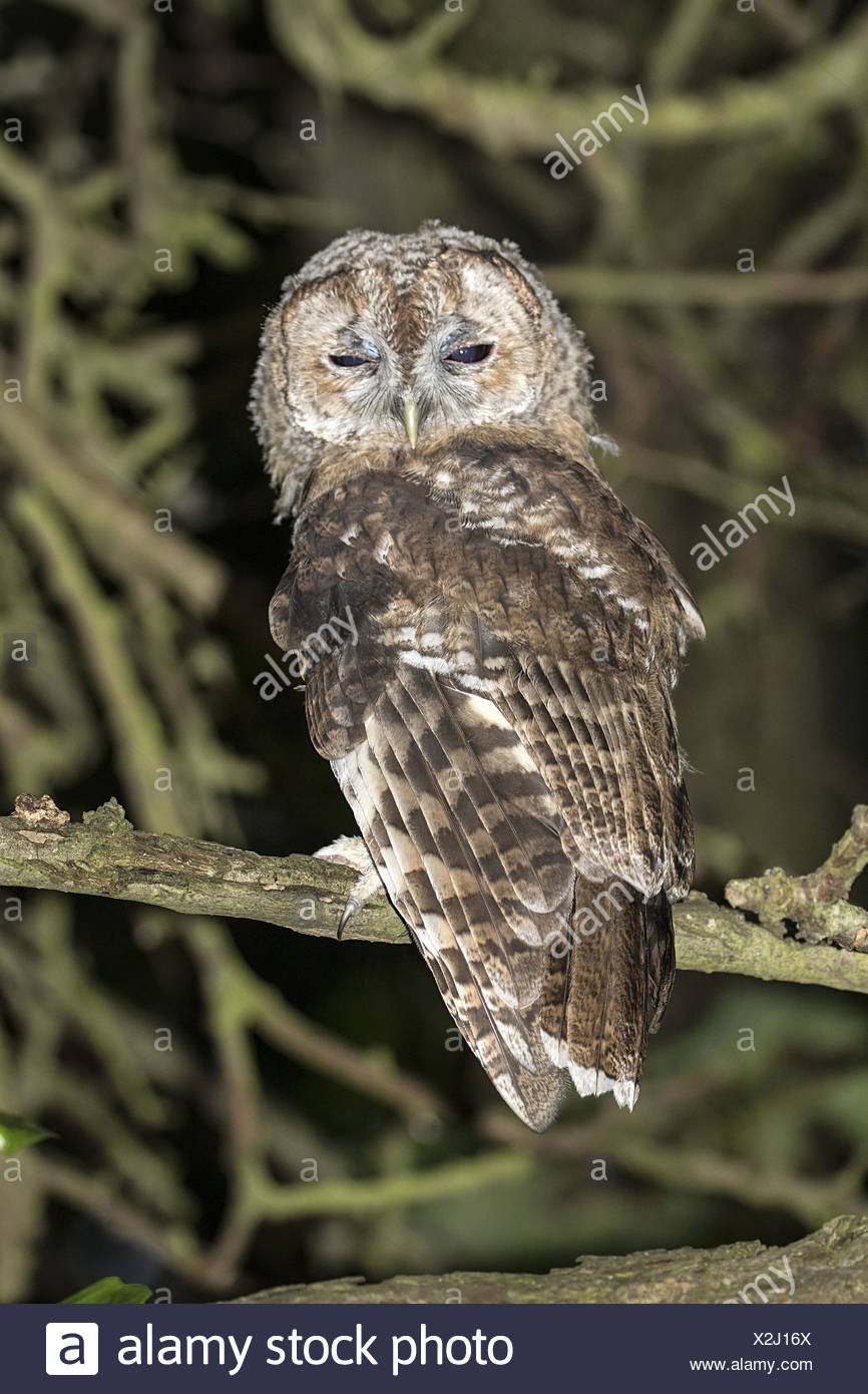 Image of: Snowy Owl Juvenile Tawny Owl Nocturnal In Woodland Alamy Juvenile Tawny Owl Nocturnal In Woodland Stock Photo 276991314 Alamy
