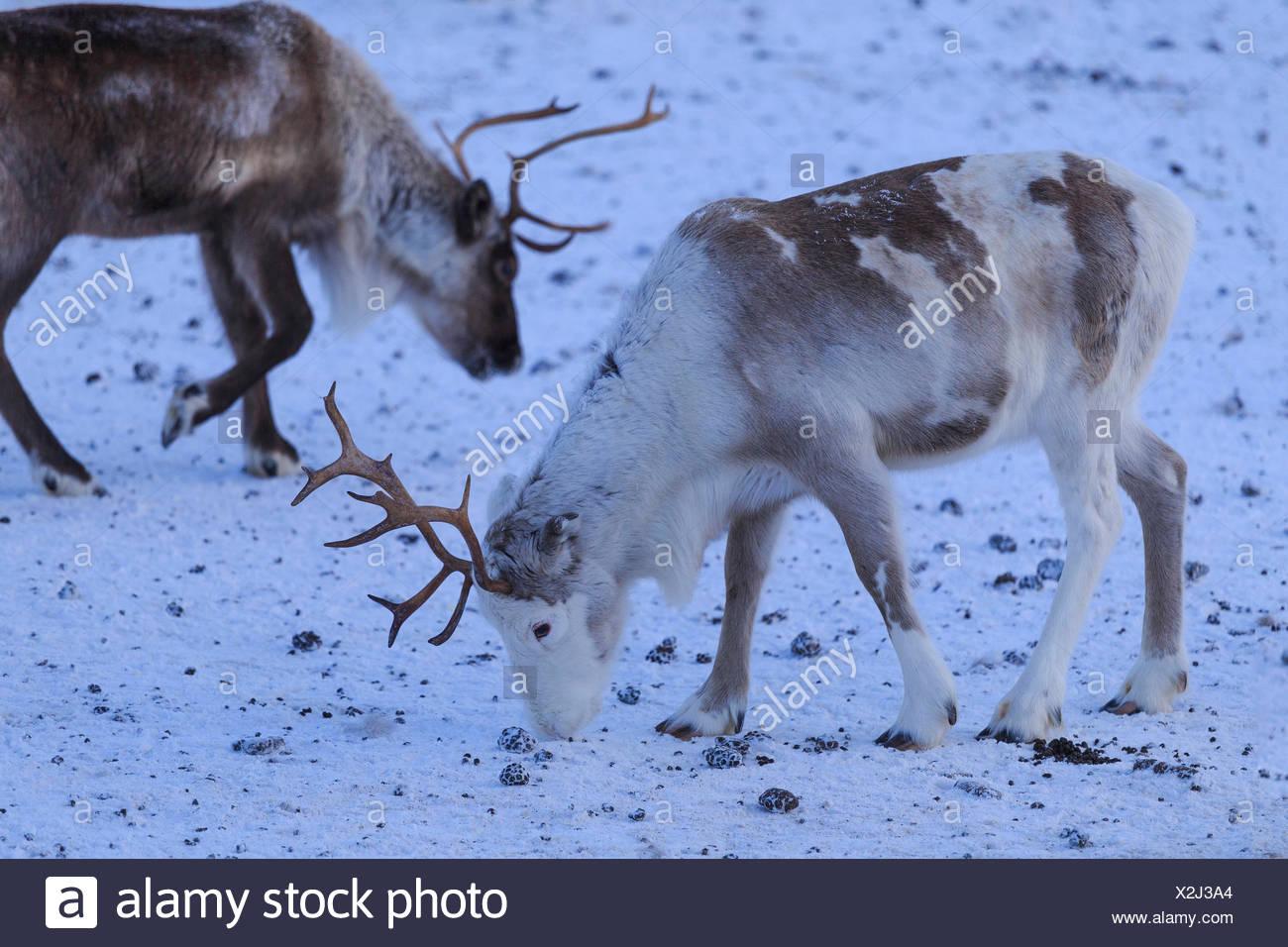 Reindeer grazing. Riskgransen, Norbottens Ian, Lapland, Sweden,Europe - Stock Image