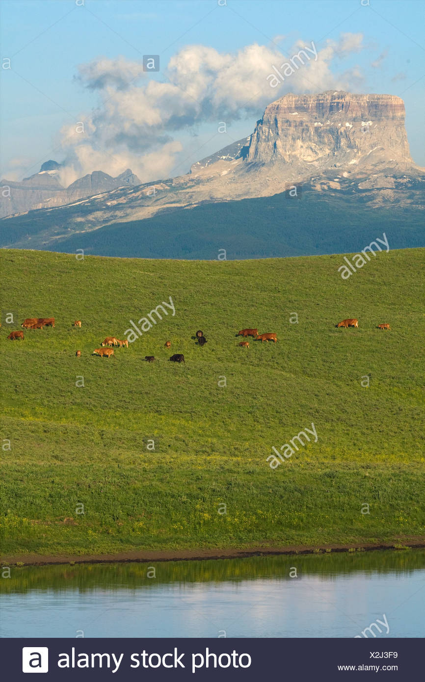Mixed breed cows and calves grazing on a green foothill pasture with the Canadian Rockies in the background / Alberta, Canada. Stock Photo