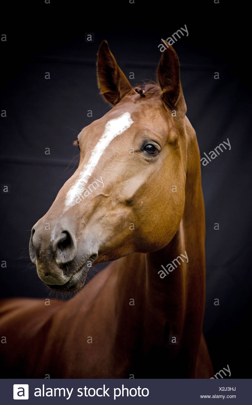 Oldenburg horse - portrait - Stock Image
