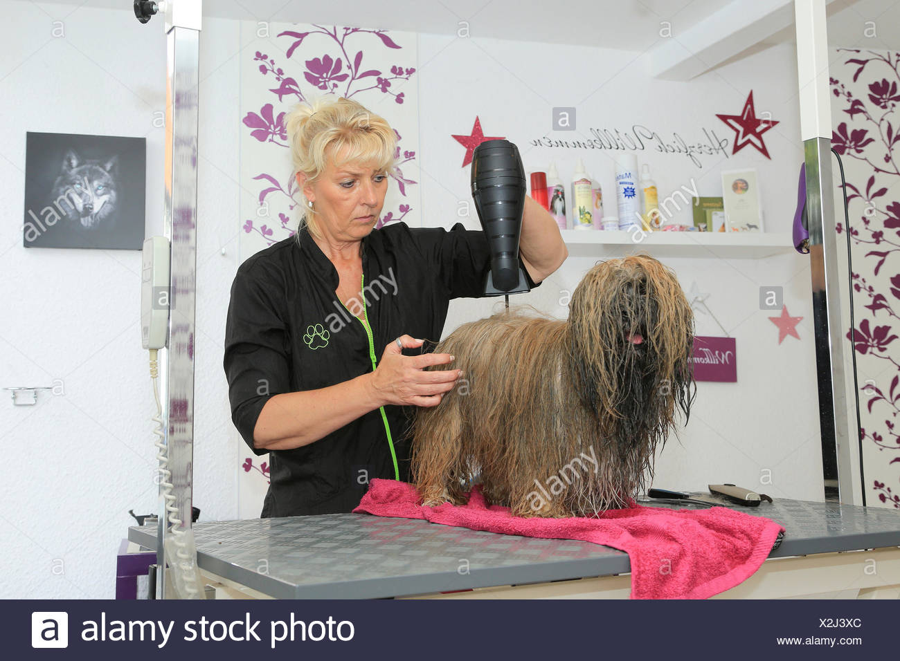 Lhasa Apso at dog groomer: Drying with a hand dryer. Germany - Stock Image