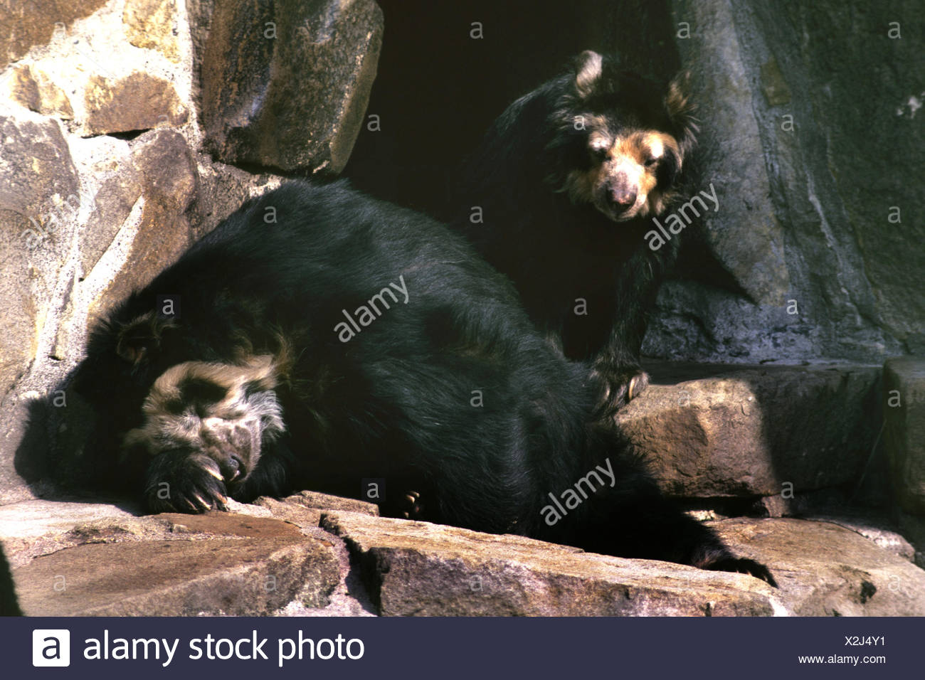 Spectacled bear, Andean bear (Tremarctos ornatus), two Andean bears on a rock Stock Photo