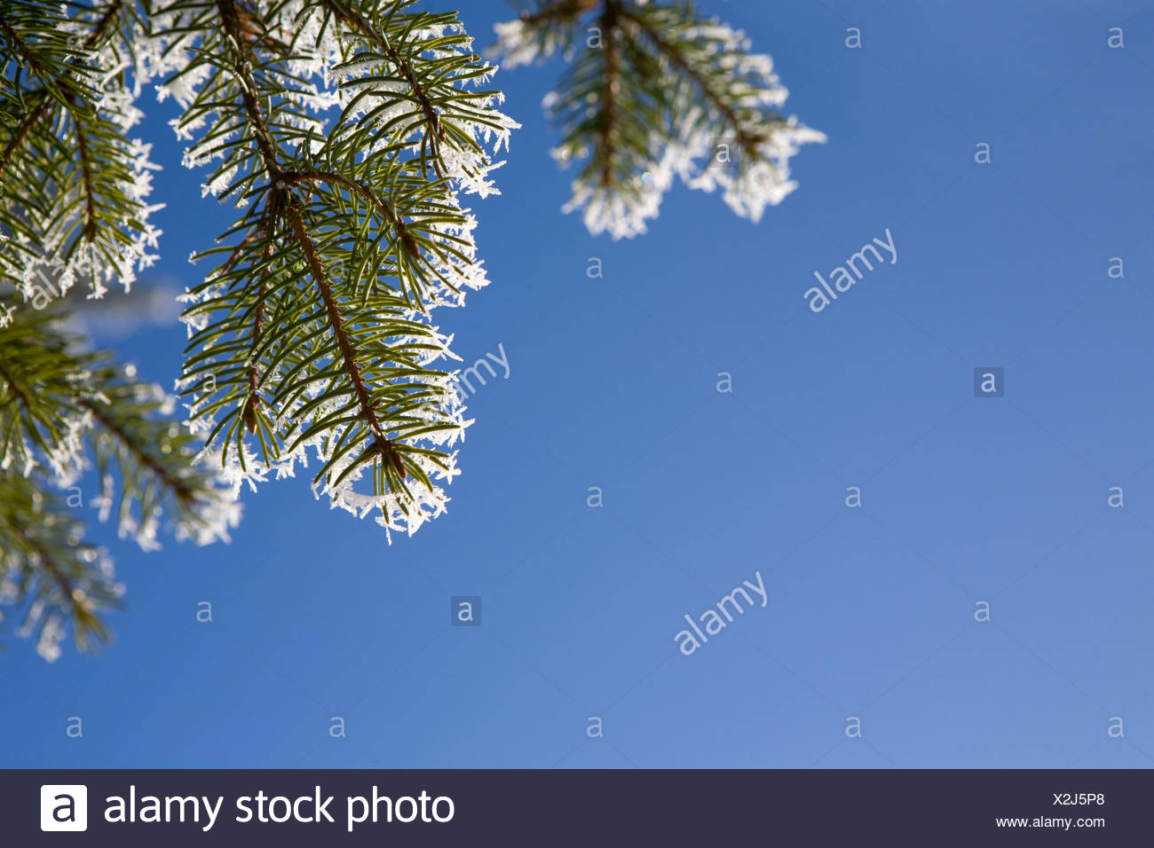 Close up of pine needles with hoar frost - Stock Image