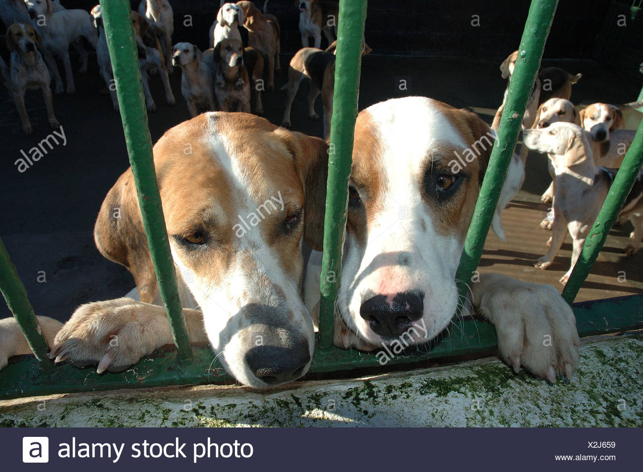 Beagles of Cheshire Forest Hunt Feb 2005 UK - Stock Image