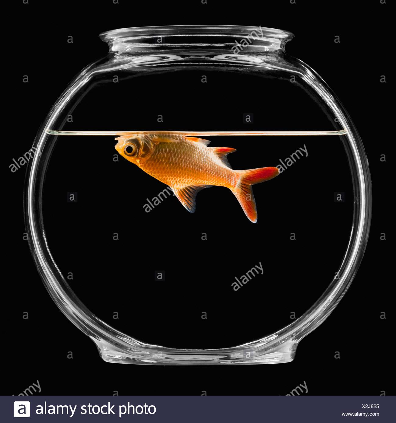 Goldfish in bowl - Stock Image