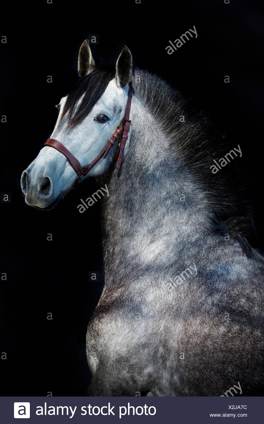 Pure Spanish Horse, Andalusian. Portrait of dapple gray mare seen against a black background. Germany - Stock Image