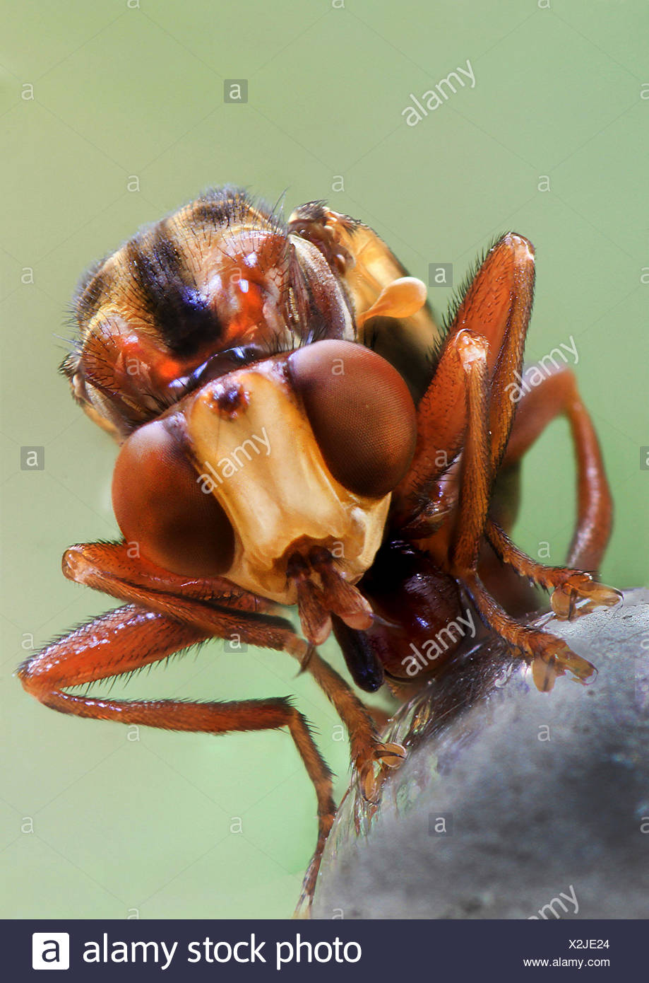 thick-headed flies (Conopidae), portrait, Germany - Stock Image