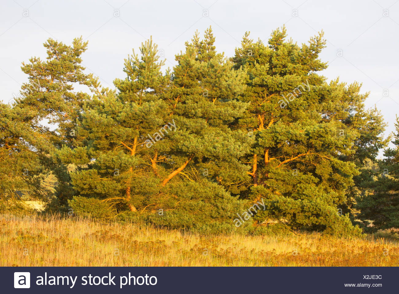 Scotch pine, Scots pine (Pinus sylvestris), in a meadow, Germany Stock Photo