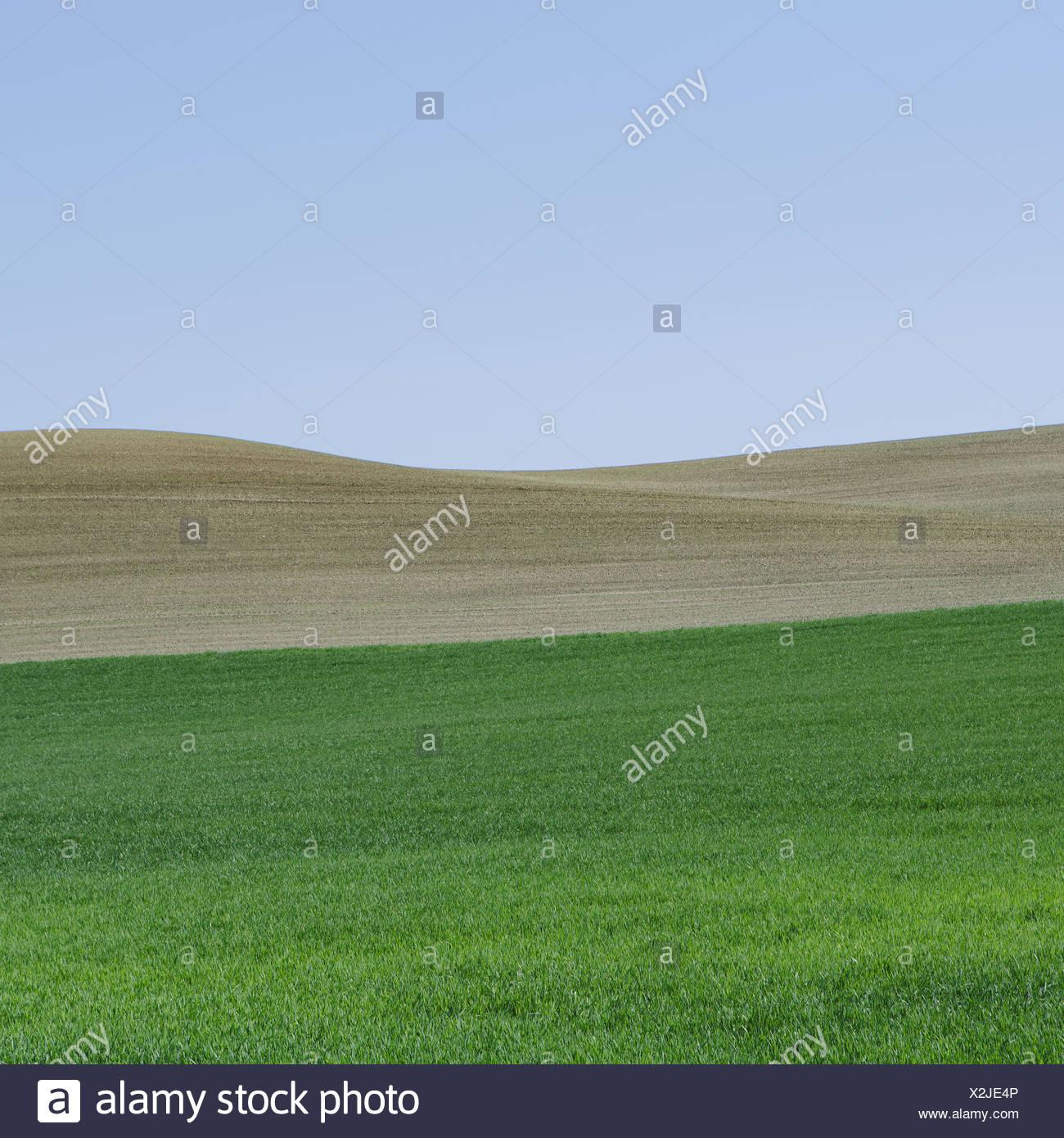 Lush, green rolling hills of the farmland near Pullman, Washington USA. A field of green ripening wheat crop plants. Stock Photo