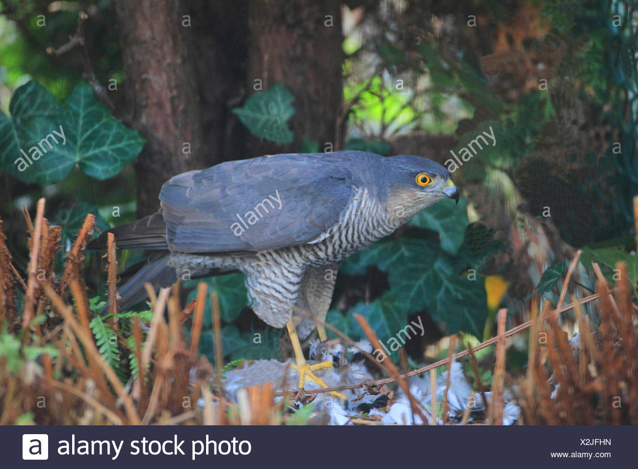 northern sparrow hawk (Accipiter nisus), picks a dove, Germany - Stock Image