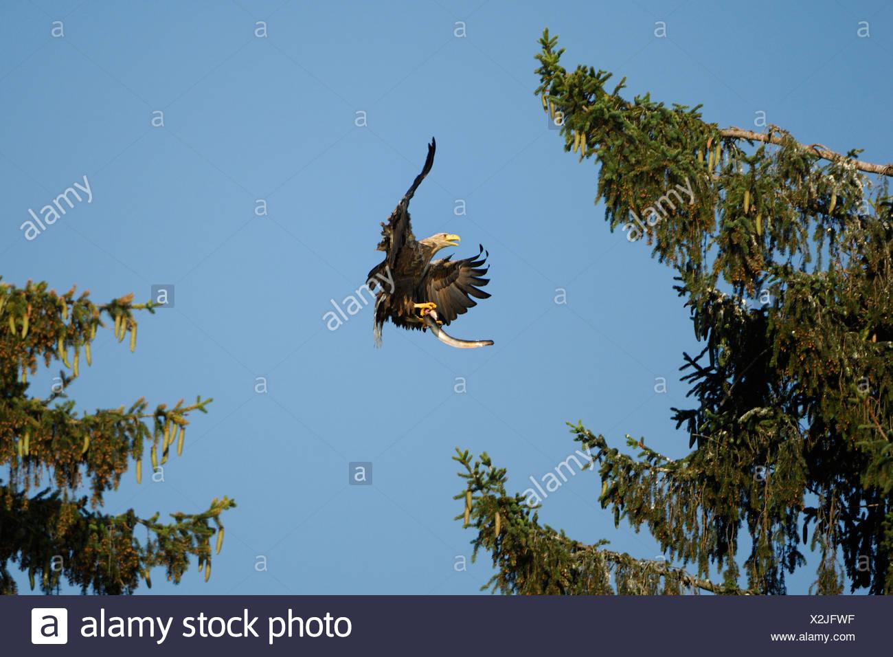 White tailed eagle (Haliaeetus albicilla) in flight with True eels (Anguilliformes) Stock Photo