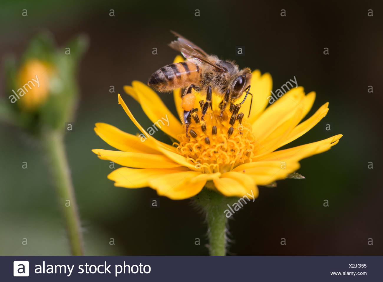 African Honey Bee (Apis mellifera scutellata) collecting pollen from yellow flower, Malawi, Blantyre - Stock Image