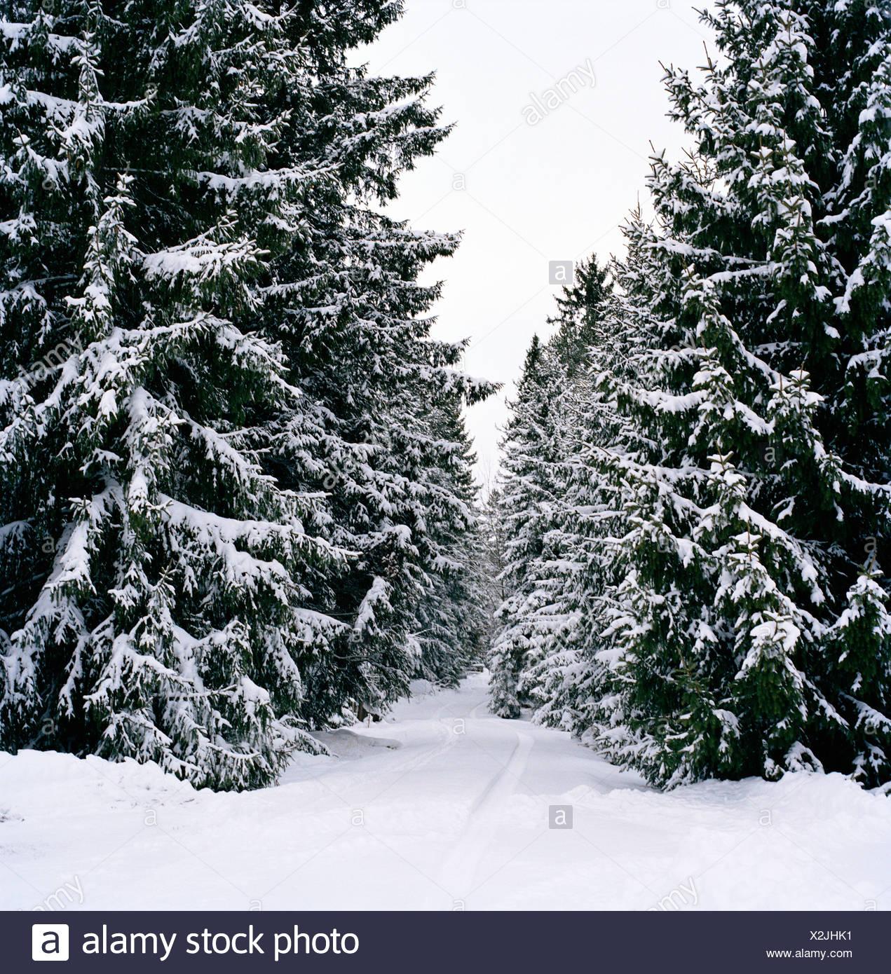 Snowy spruce fir Sweden - Stock Image