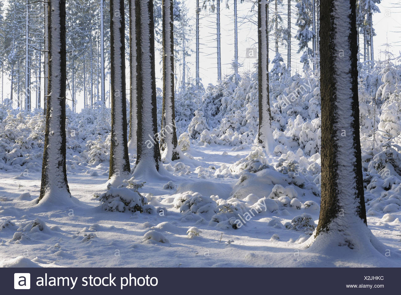 Winter forest, conifers, detail, trunks, - Stock Image