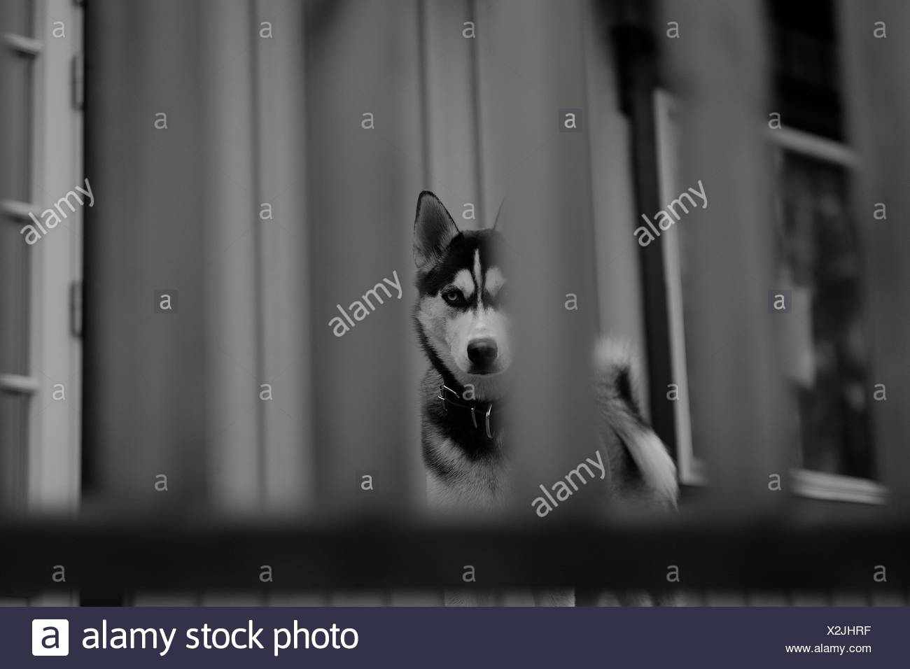 Siberian Husky Outside House Seen Through Fence - Stock Image