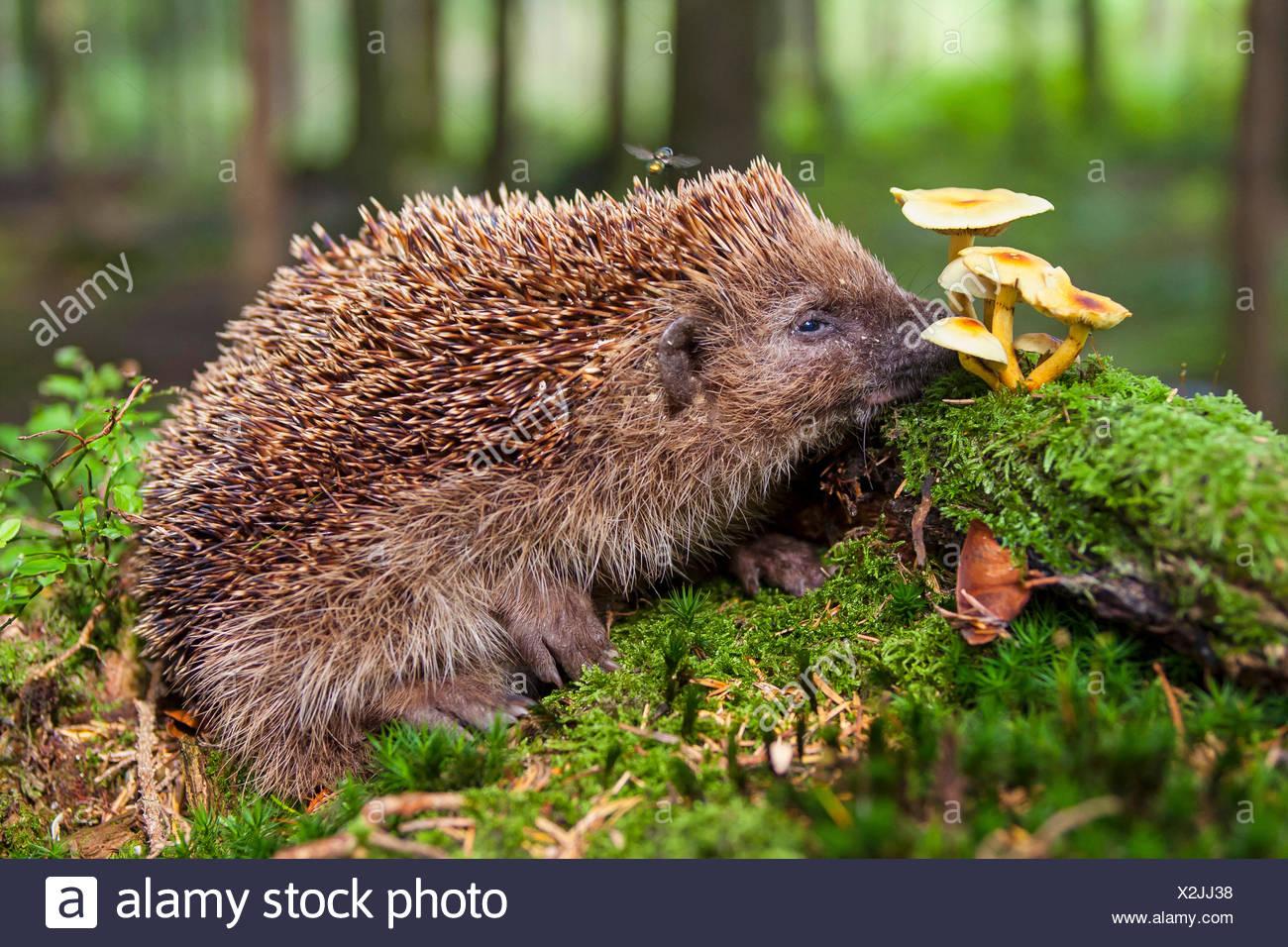 Western hedgehog, European hedgehog (Erinaceus europaeus), hedgehog searching food on the forest, Switzerland, Sankt Gallen Stock Photo