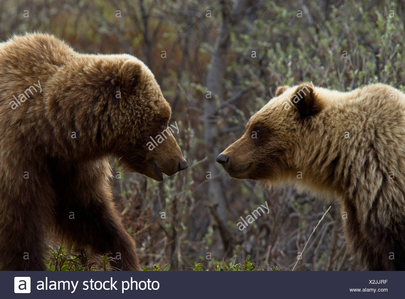 Sow and cub grizzly face to face at Sable Pass in Denali National Park, Alaska during Spring - Stock Image