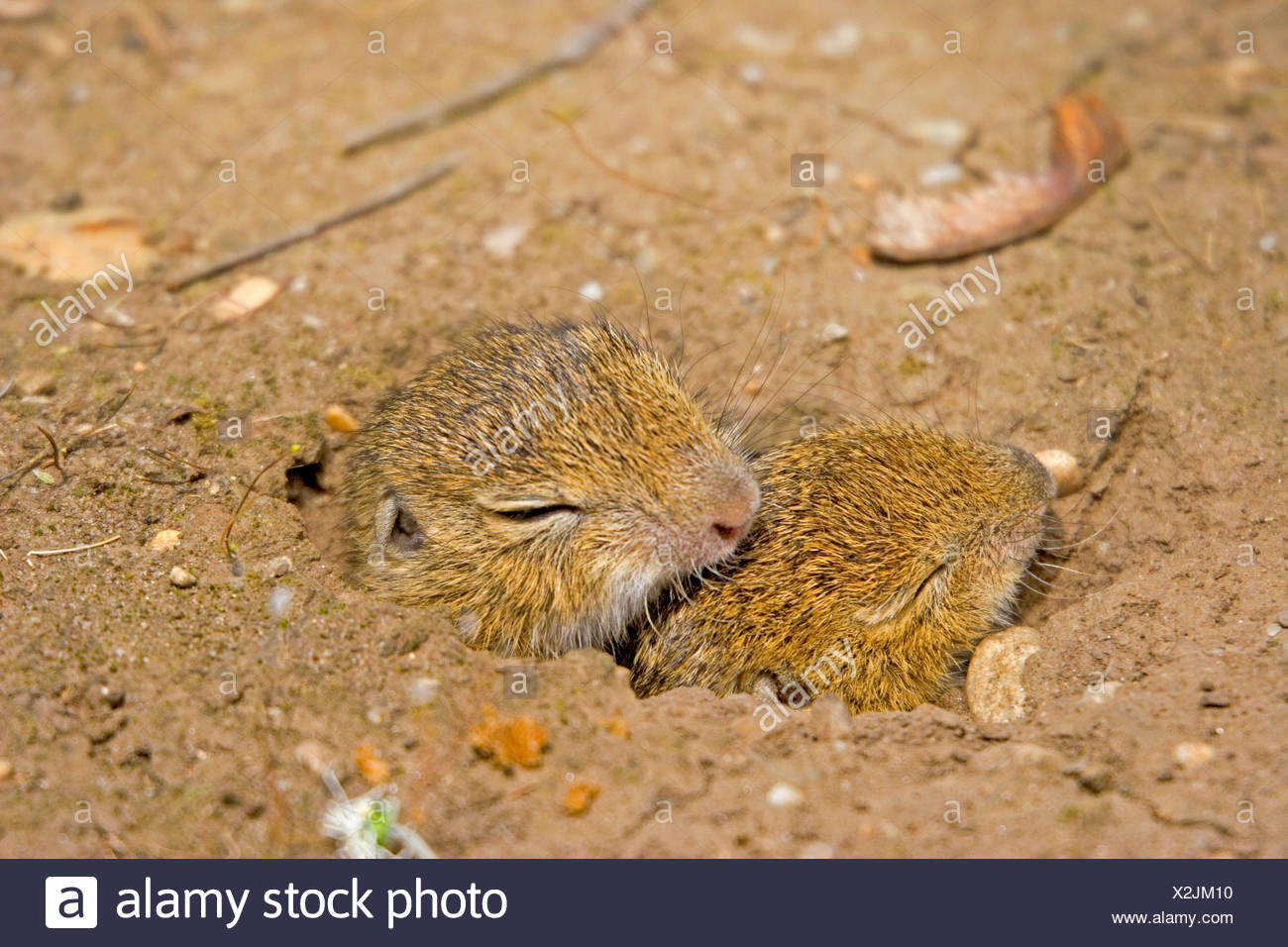 European ground squirrel, European suslik, European souslik (Citellus citellus, Spermophilus citellus), two pups looking out of the den, Germany Stock Photo