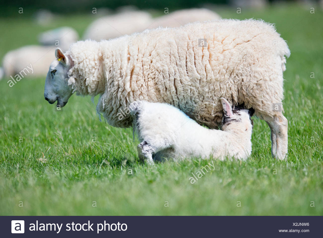 Lamb suckling sheep in sunny green spring field - Stock Image