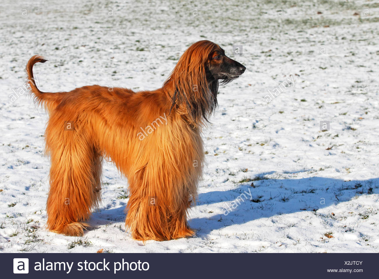 Afghan Hound (Canis lupus familiaris) in winter in the snow, male dog , Germany - Stock Image