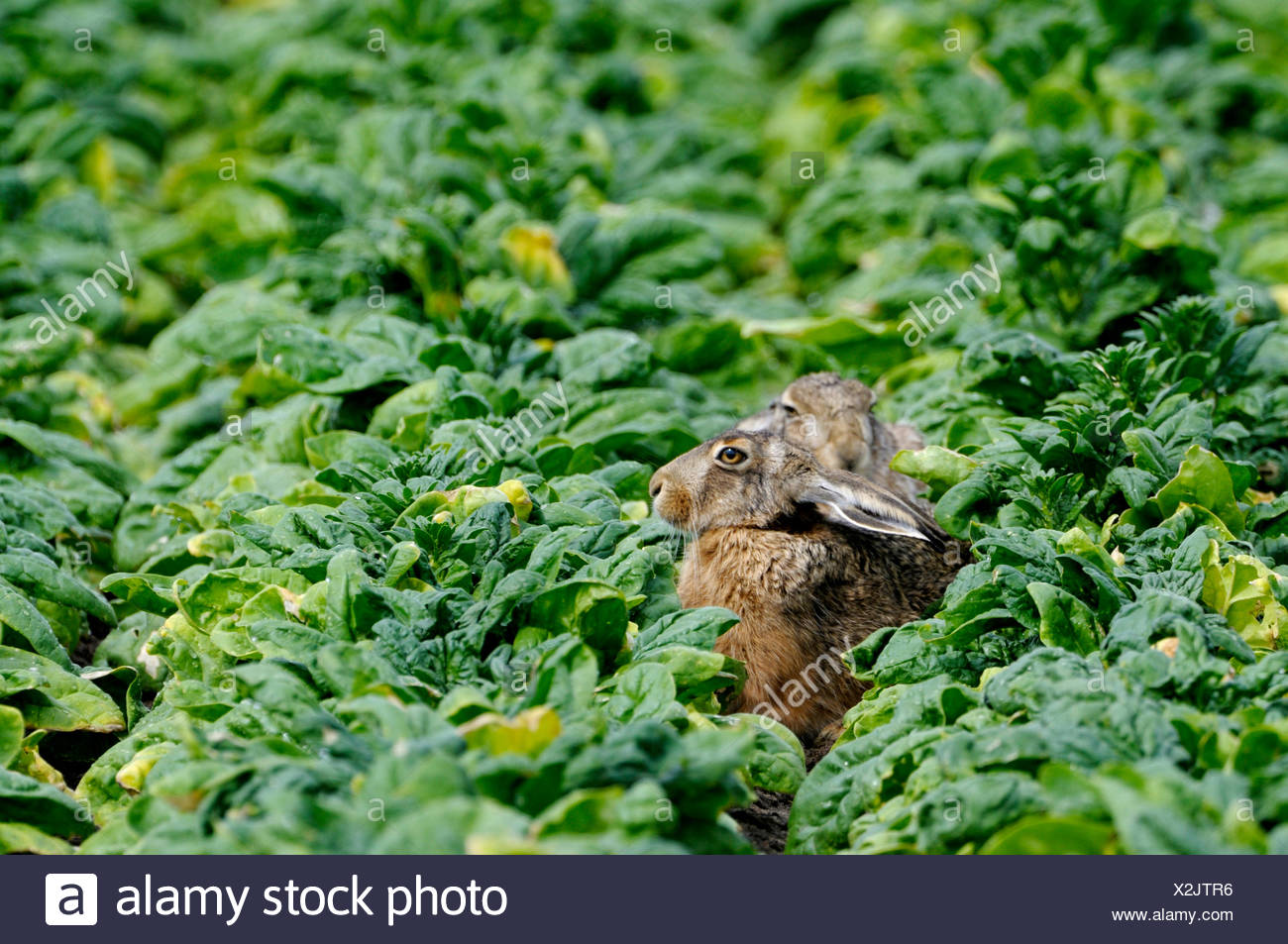 European hare (Lepus europaeus), two hares sitting hidden in a field, Netherlands - Stock Image
