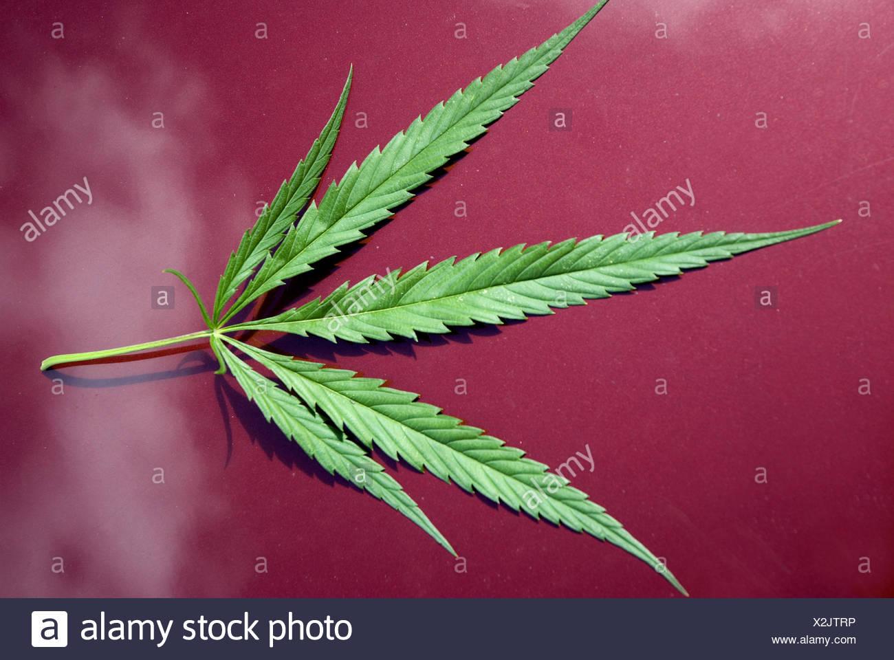 Hemp leaves, - Stock Image