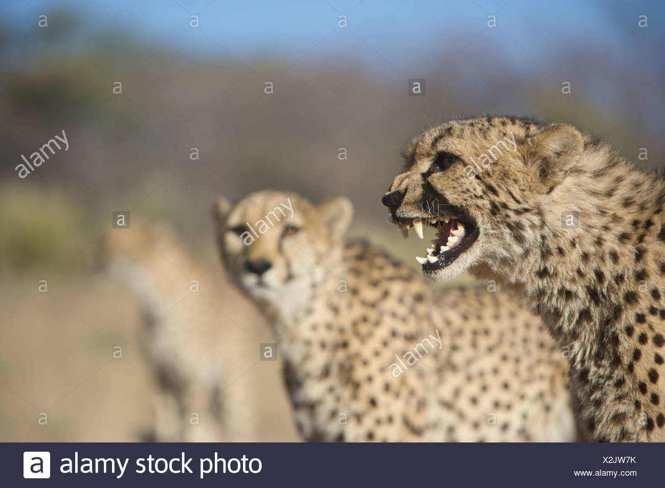 Cheetah (Acinonyx Jubatus) snarling with others in background, Namibia - Stock Image
