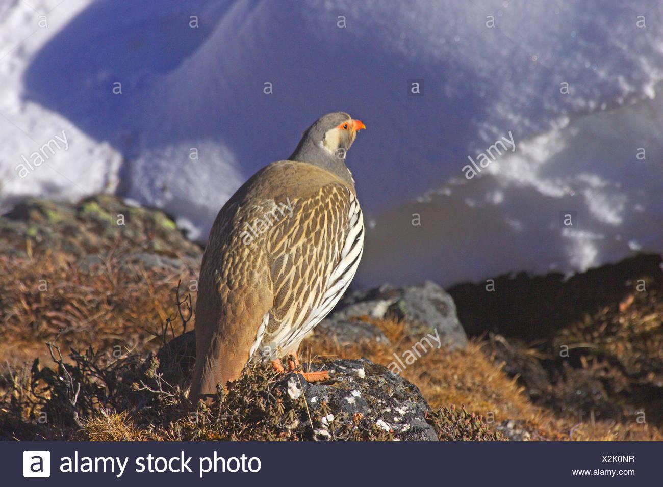 ptarmigan near Dzongla, Nepal, Himalaya, Khumbu Himal - Stock Image