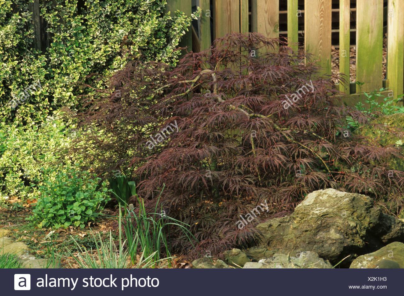 Japanese Maple Acer Palmatum Dissectum Nigrum Ever Red