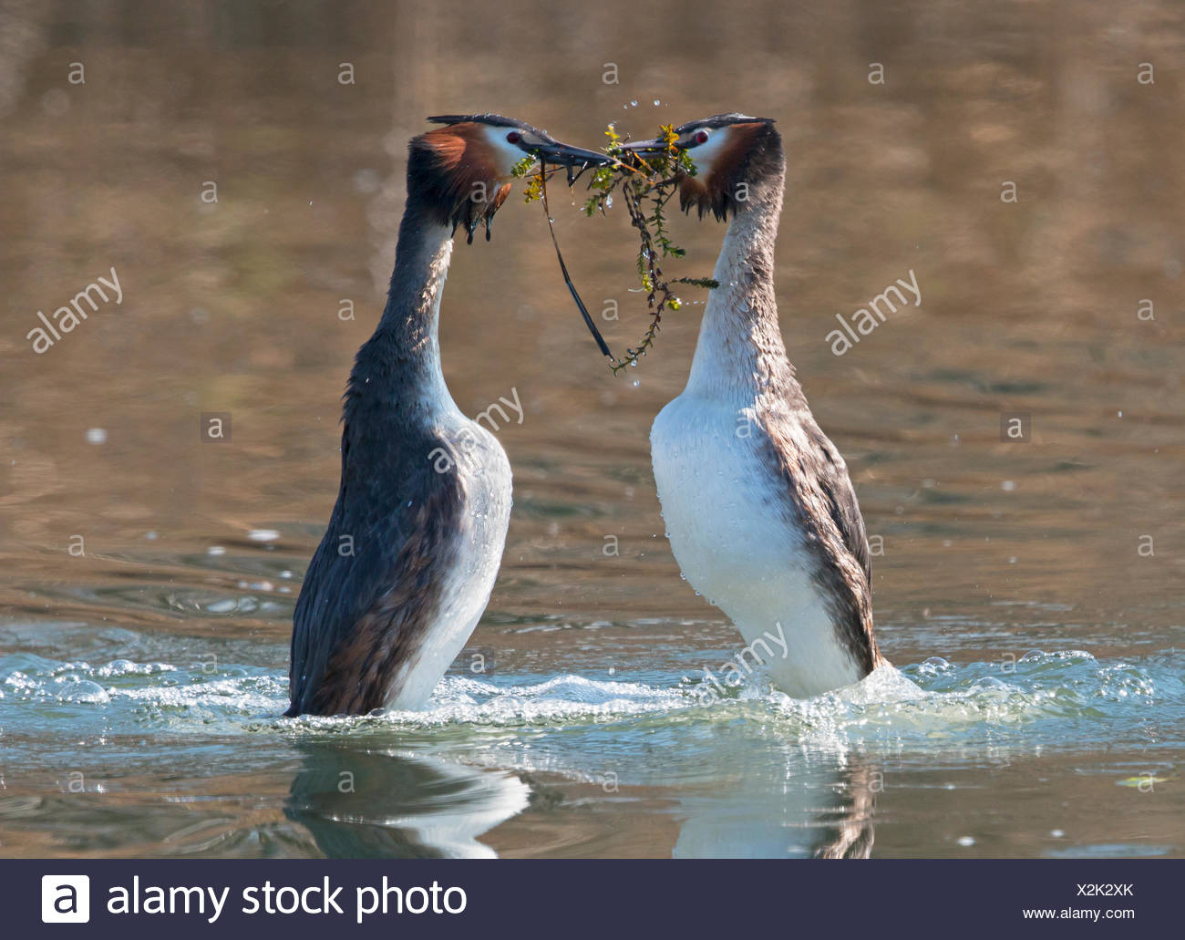 Great Crested Grebes displaying on the water - Switzerland - Stock Image