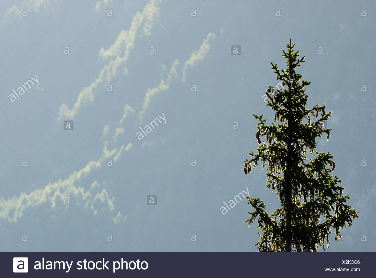 Europe, Austria, Coniferous tree, close-up - Stock Image