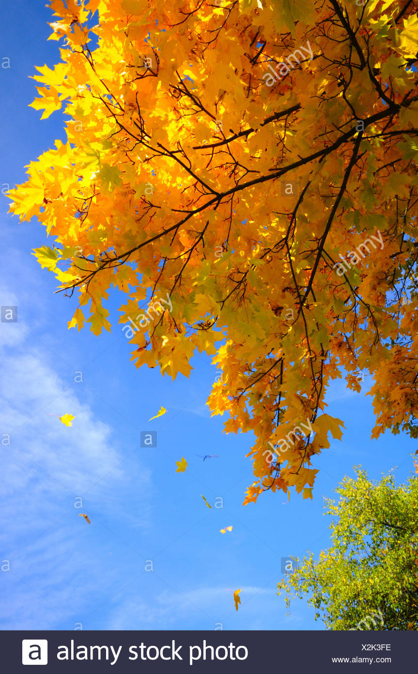 Fall Leaves Falling From The Tree Stock Photos Fall Leaves