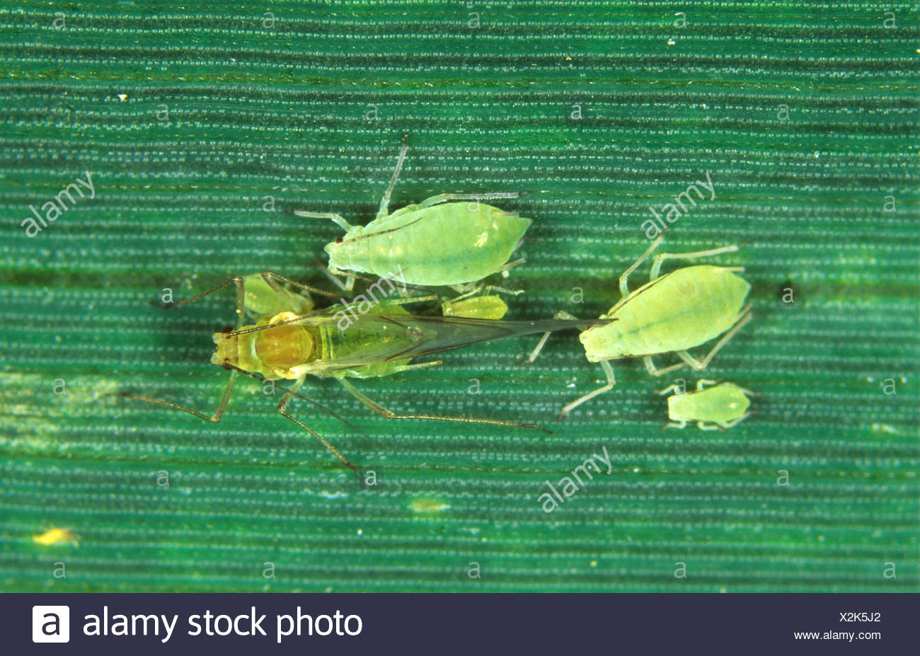 Rose grain aphid Metapolophium dirhodum alate and apterous stages on wheat leaf - Stock Image
