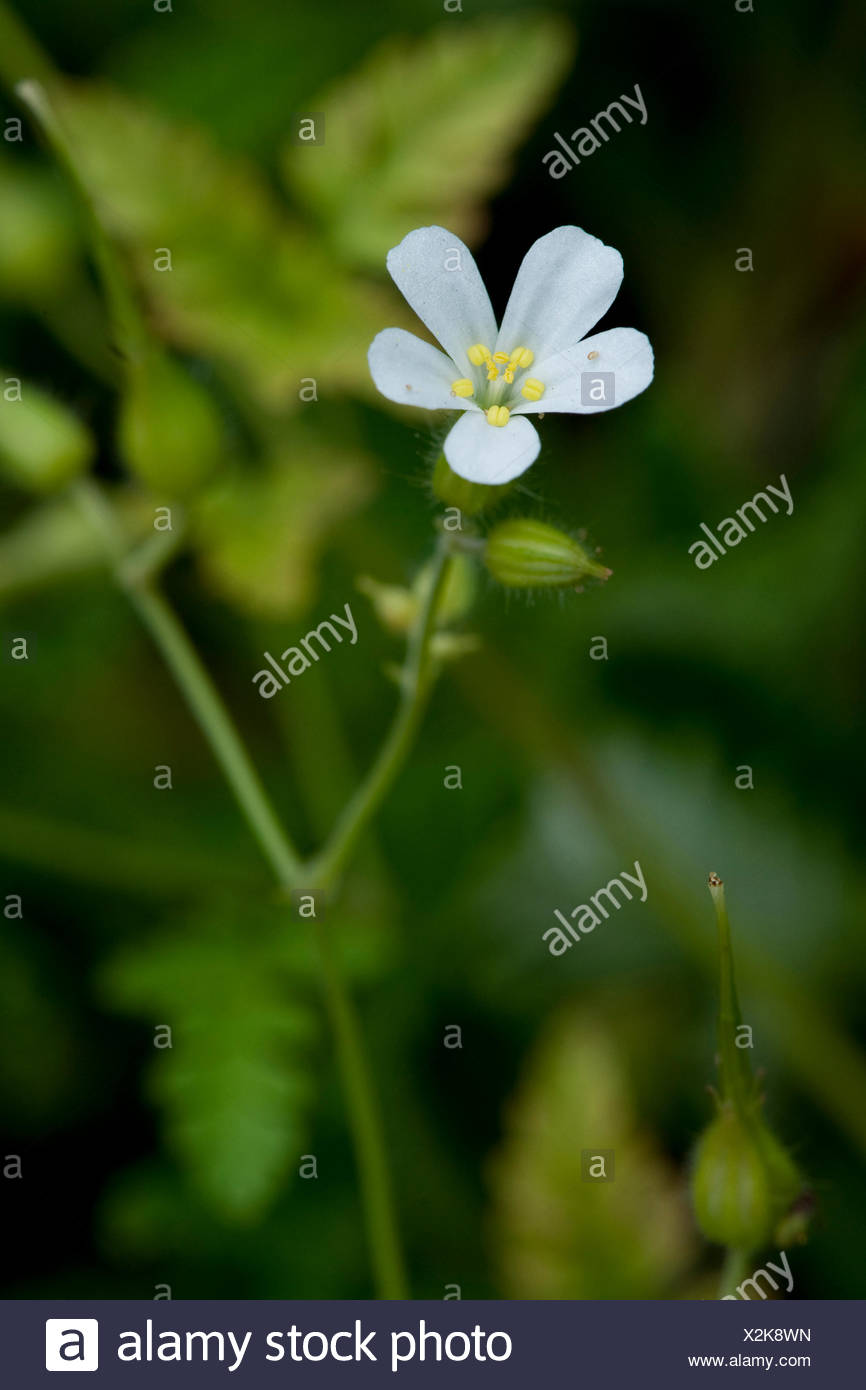 Herb robert red robin death come quickly robert geranium herb robert red robin death come quickly robert geranium geranium robertianum robertiella robertiana with white flower germany mightylinksfo