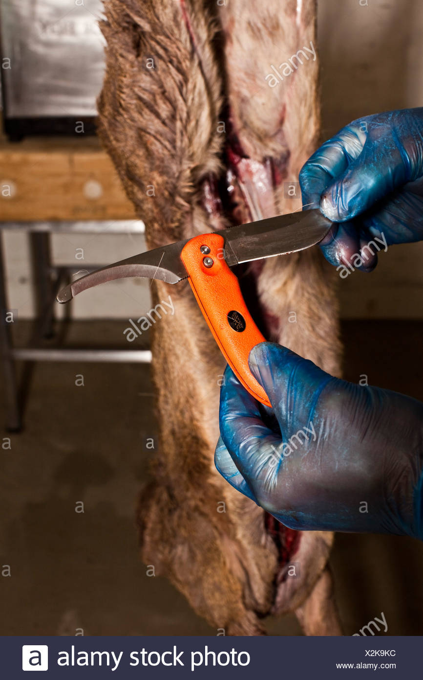 Choosing a knife blade and animal carcass, Thetford forest, UK - Stock Image