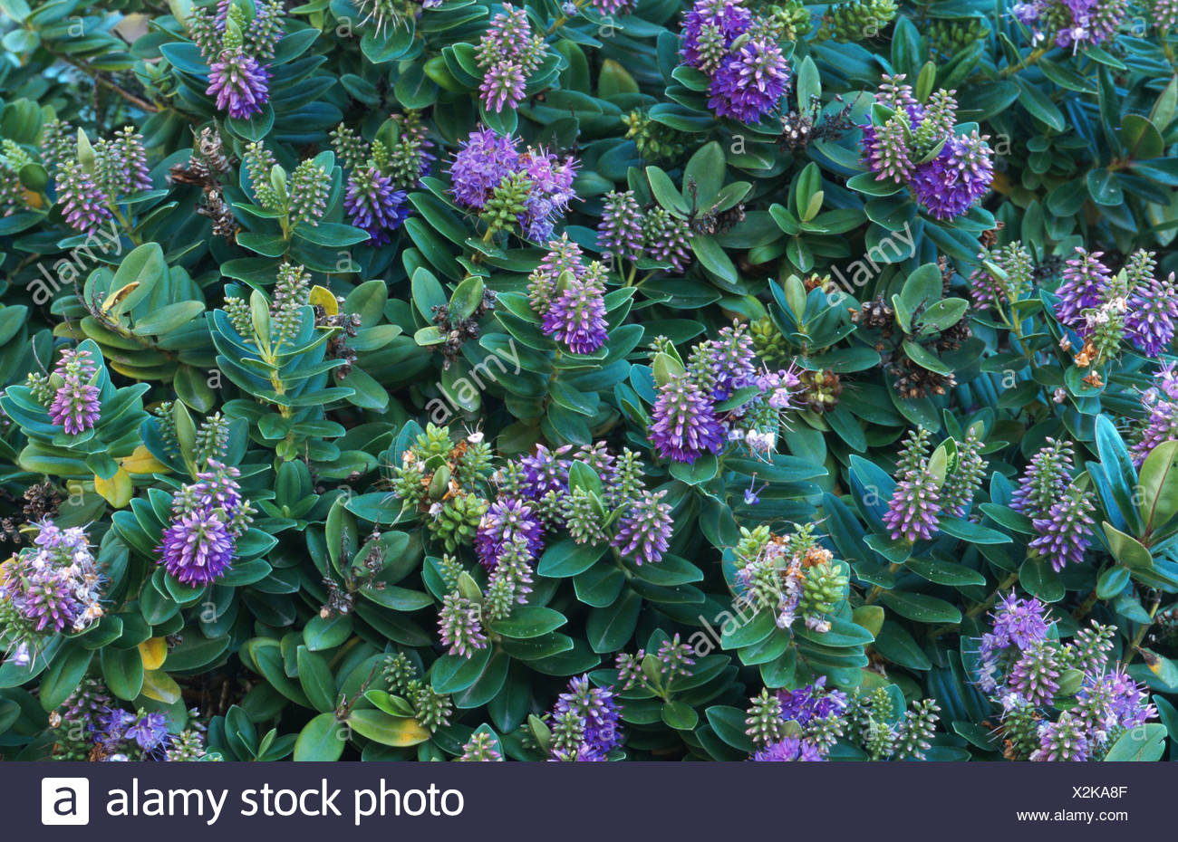 Hebe Andersonii Stock Photos & Hebe Andersonii Stock Images - Alamy