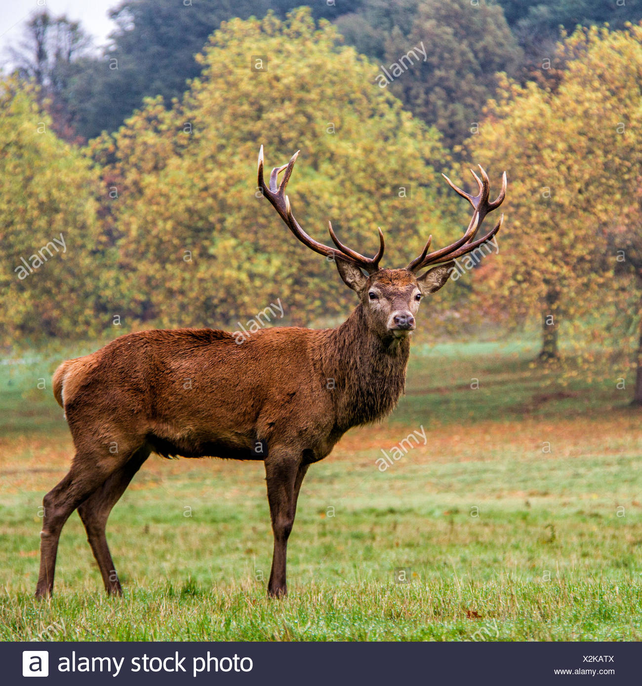 Portrait of stag in a park, England, UK - Stock Image