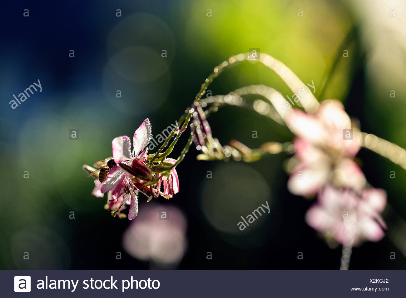 Lindheimer's Beeblossom Stock Photo