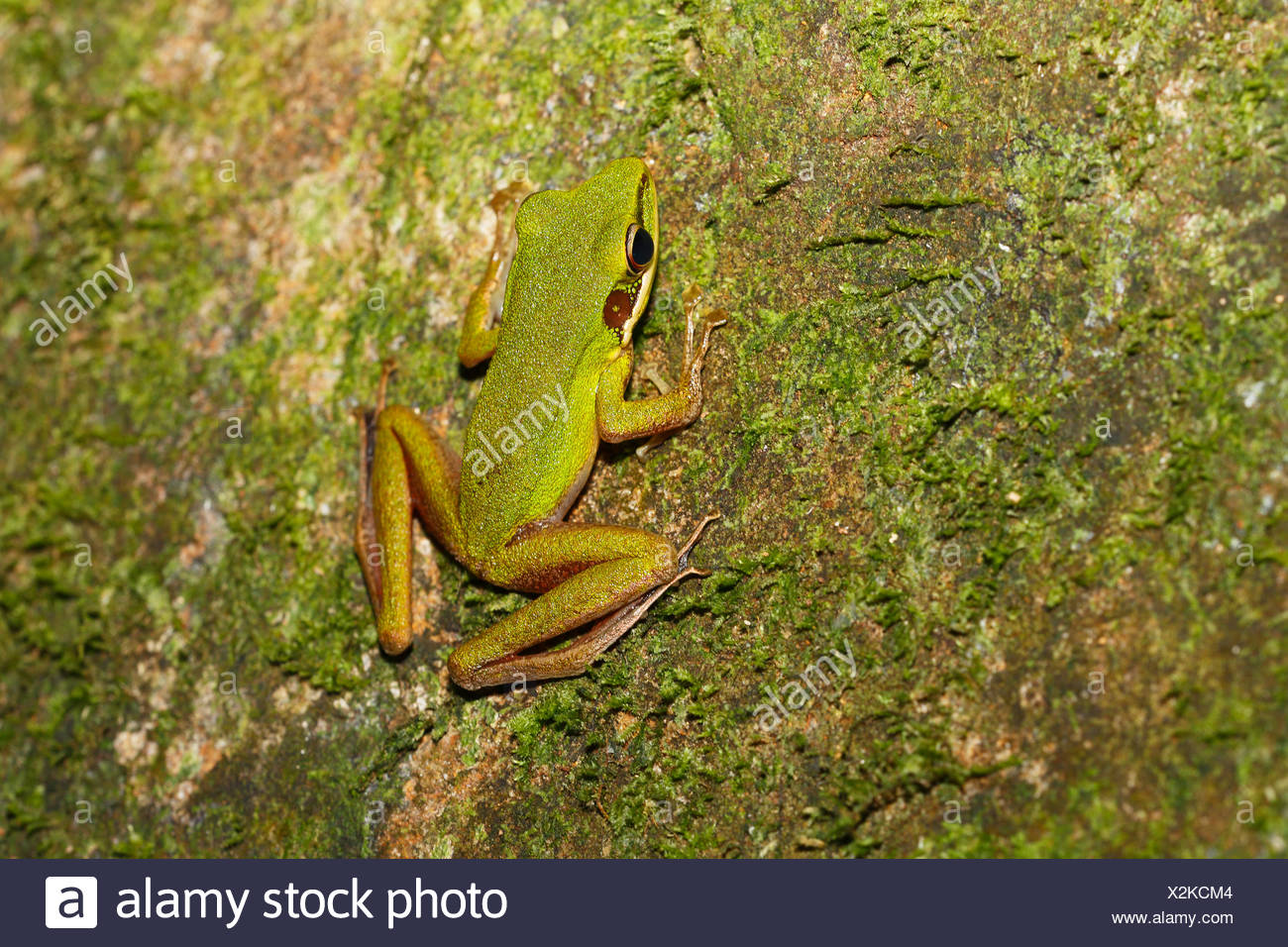 White-lipped frog (Rana chalconota), true frog in the tropical rainforest, Sarawak, Borneo, Malaysia - Stock Image