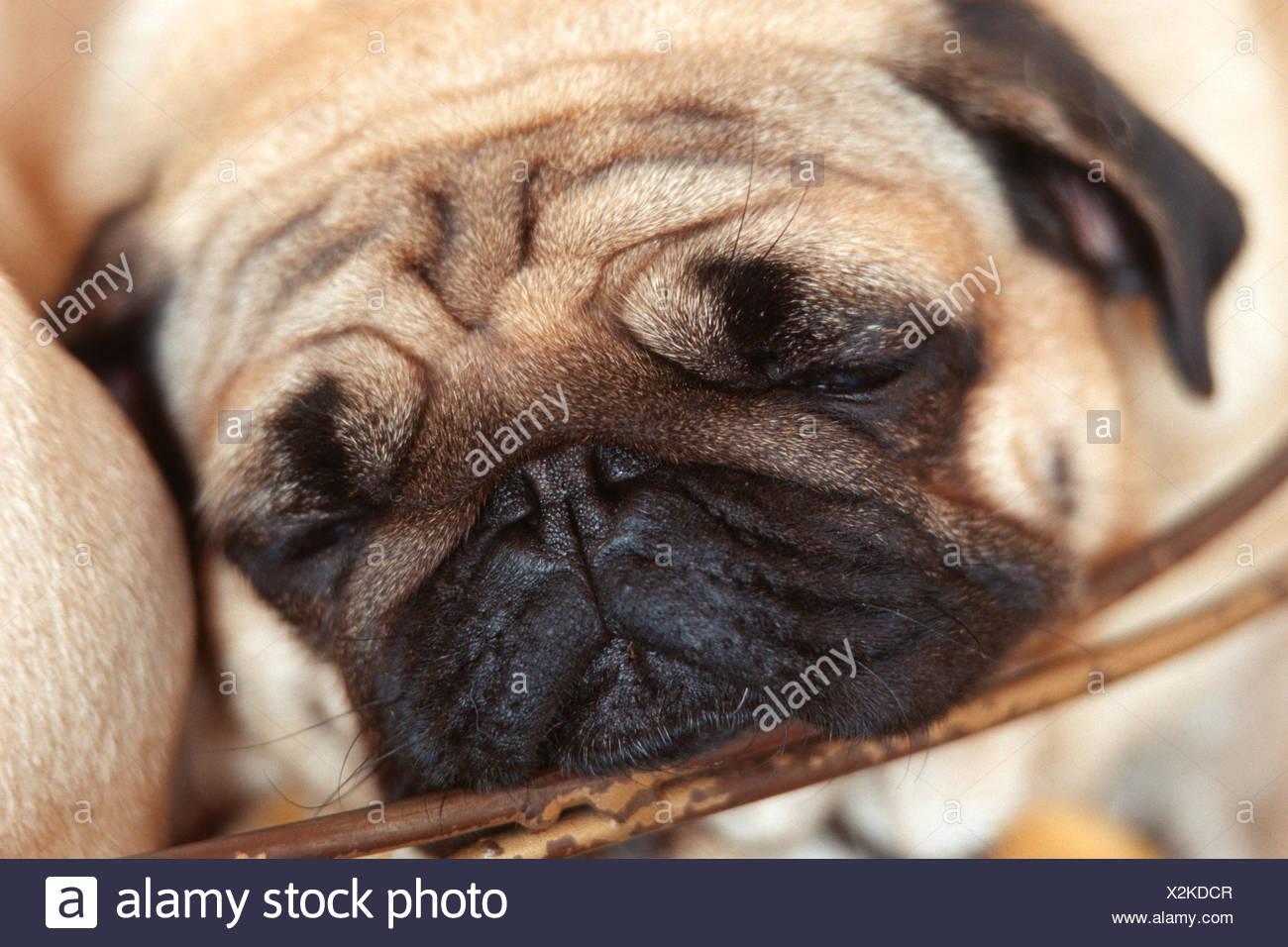Pug (Canis lupus f. familiaris), sleepy - Stock Image