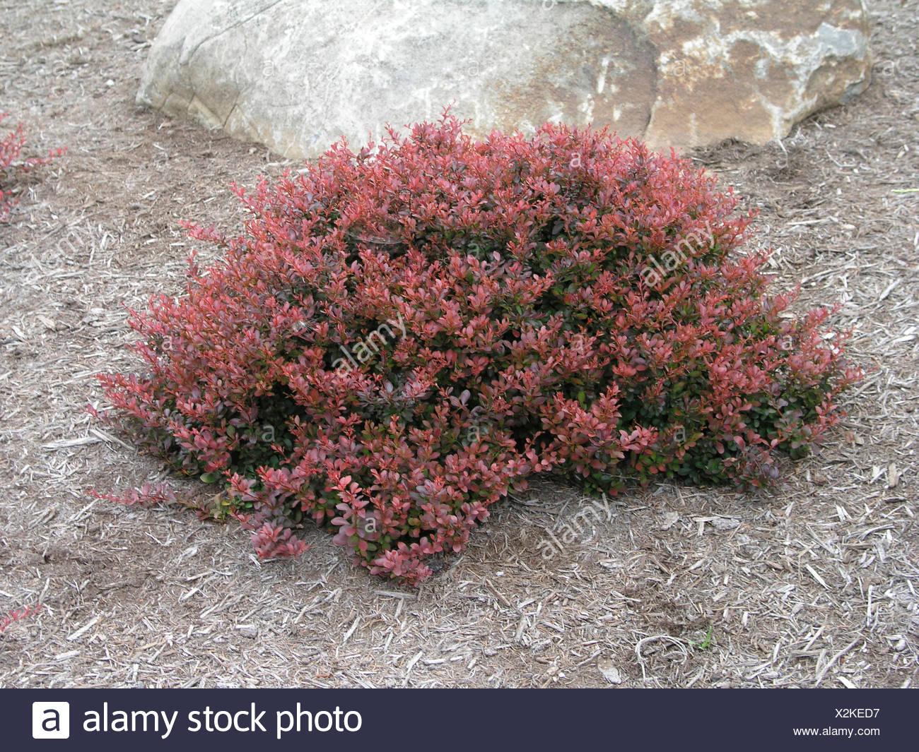 Berberis Thunbergii Atropurpurea Crimson Pygmy Berberis Thunbergii At...