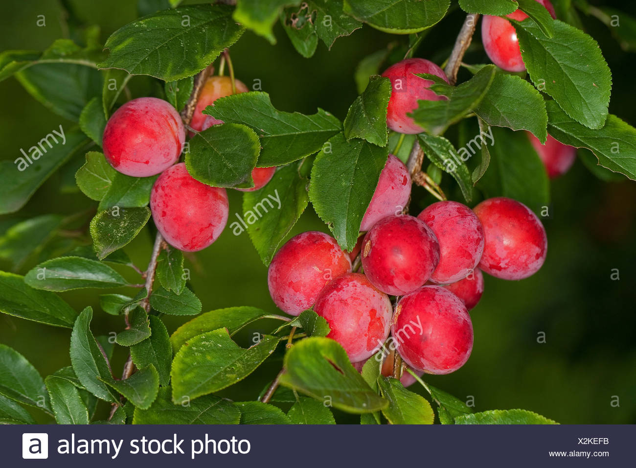 Cherry Plum Myrobalan Plum Prunus Cerasifera Branch With
