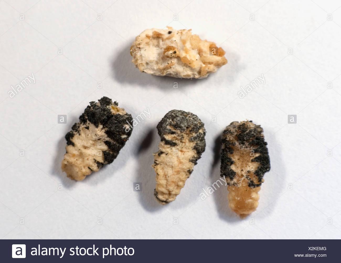Dead Larvae showing Sacbrood disease Honey Bee Apis mellifera Kent UK - Stock Image