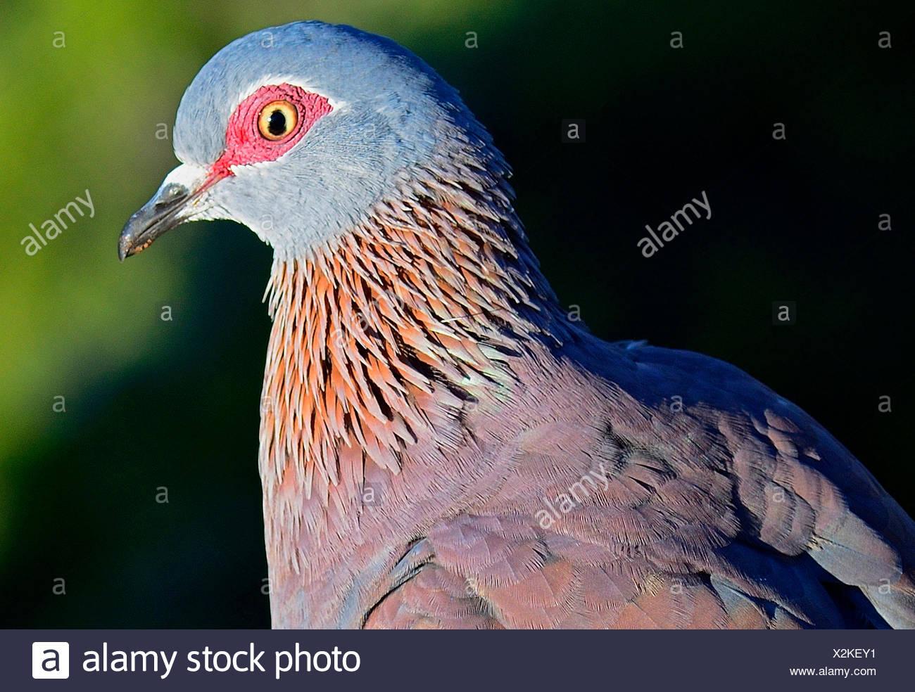 speckled pigeon (Columba guinea), portrait, South Africa, Tafelberg - Stock Image